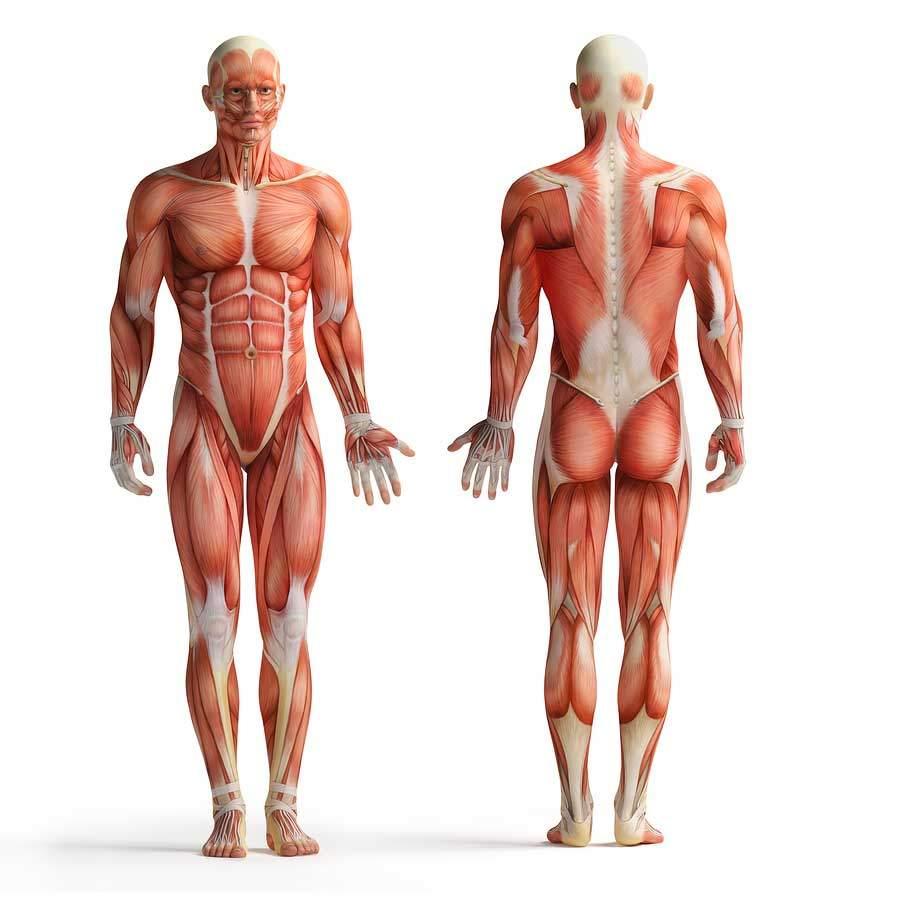 Faszien im menschlichen Körper